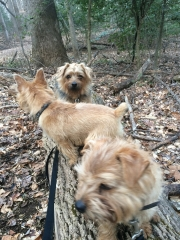 norfolk-terriers-hank-otto-and-ernie_20150204_003682