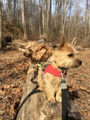 norfolk-terriers-hank-otto-and-ernie_20150206_003684