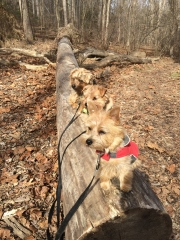 norfolk-terriers-hank-otto-and-ernie_20150206_003686