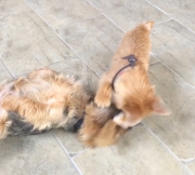 norfolk-terriers-otto-and-ernie-battle-for-toy-squirrel