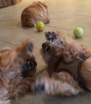 norfolk-terriers-otto-and-ernie-consider-wrestling