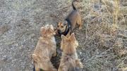 norfolk-terriers-tag-team-ftw 5.jpg