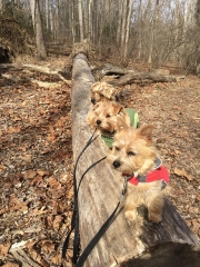 norolk-terriers-hank-otto-and-ernie_20150206_003687