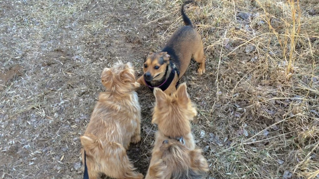 norfolk terriers hank and ernie take on a frisky dog