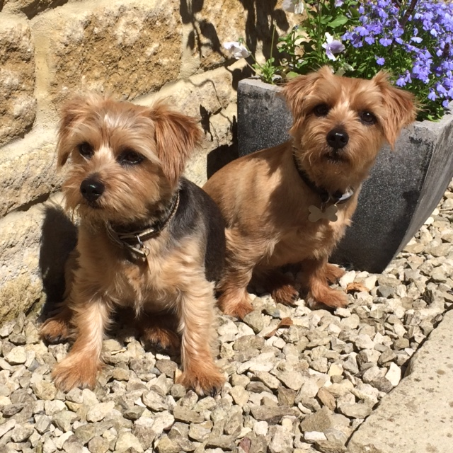 norfolk terriers poppy and daisy