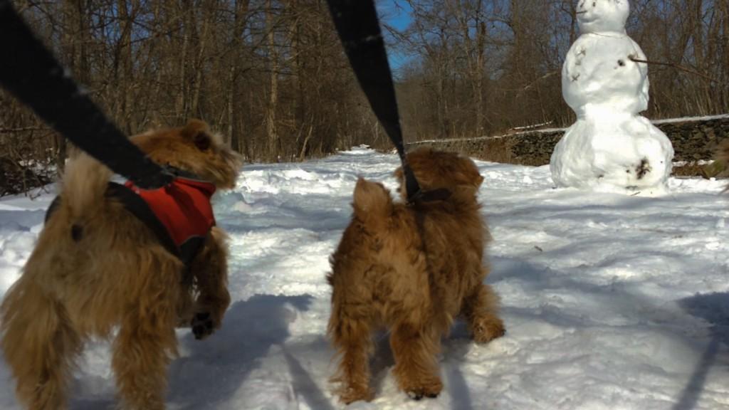 norfolk terriers ernie and hank encounter snow creature